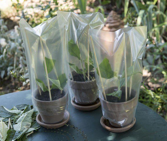 So leicht lässt sich Sommerflieder vermehren #orchideenschneiden