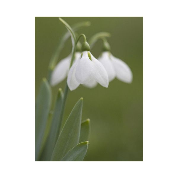 Snow Drop Flower Galanthus Early Spring Bloom In Oregon Usa 30 Liked On Polyvore Snow Drops Flowers Beautiful Flowers Spring Blooms