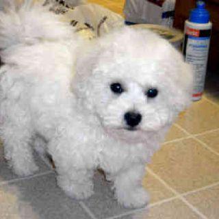 Bichon Frise Puppy So Cute Bichon Frise Puppy Bichon Frise Bichon