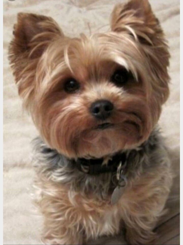 This Puppy Looks So Cute And Adorable Yorkie Dogs Yorkie Puppy