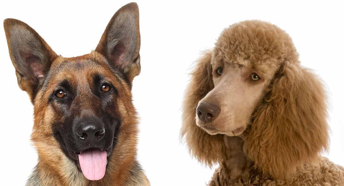 German shepherd poodle mix shepadoodle german