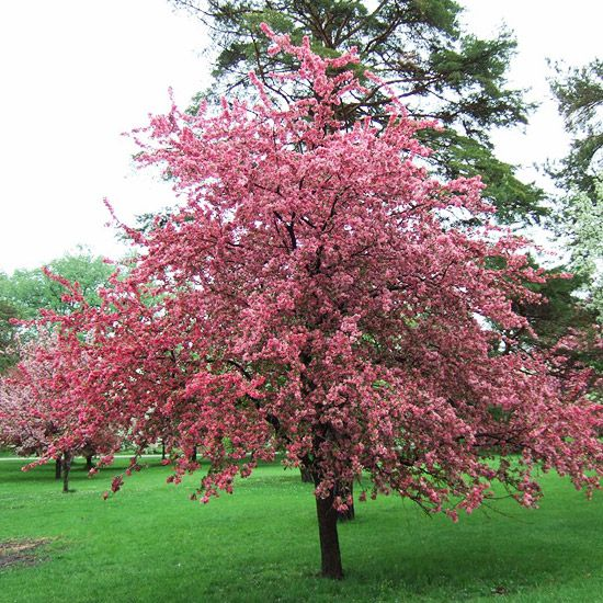 13 Of The Most Colorful Crabapple Trees For Your Yard Crabapple Tree Crab Apple Flowering Trees