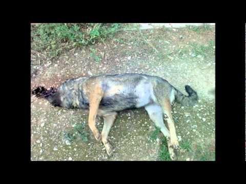 STOP AUX  MALTRAITANCE DES ANIMAUX.wmv