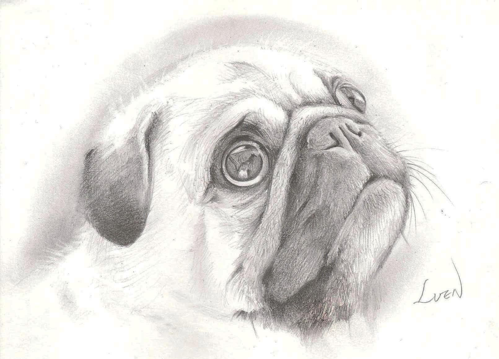 Pencil Drawings Of Pugs Beautiful Pencil Drawing Isn T It Pug