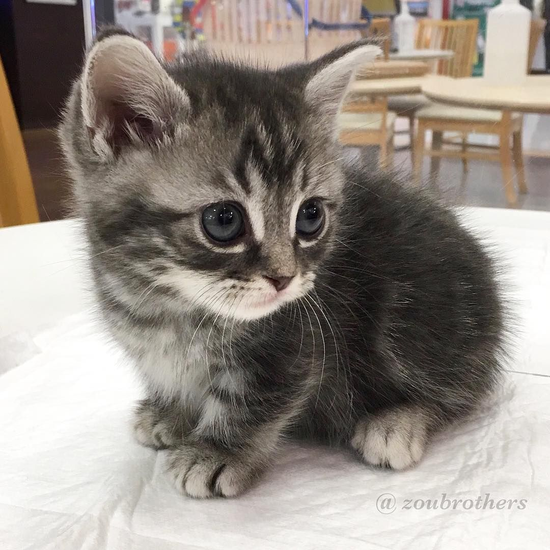 Instagram Cute Animals Cute Cats Munchkin Kitten