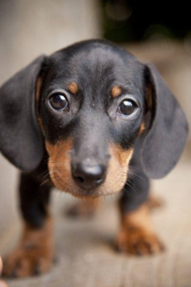 Dachshund Looks Like My Ginger So Cute Dackel Hunde