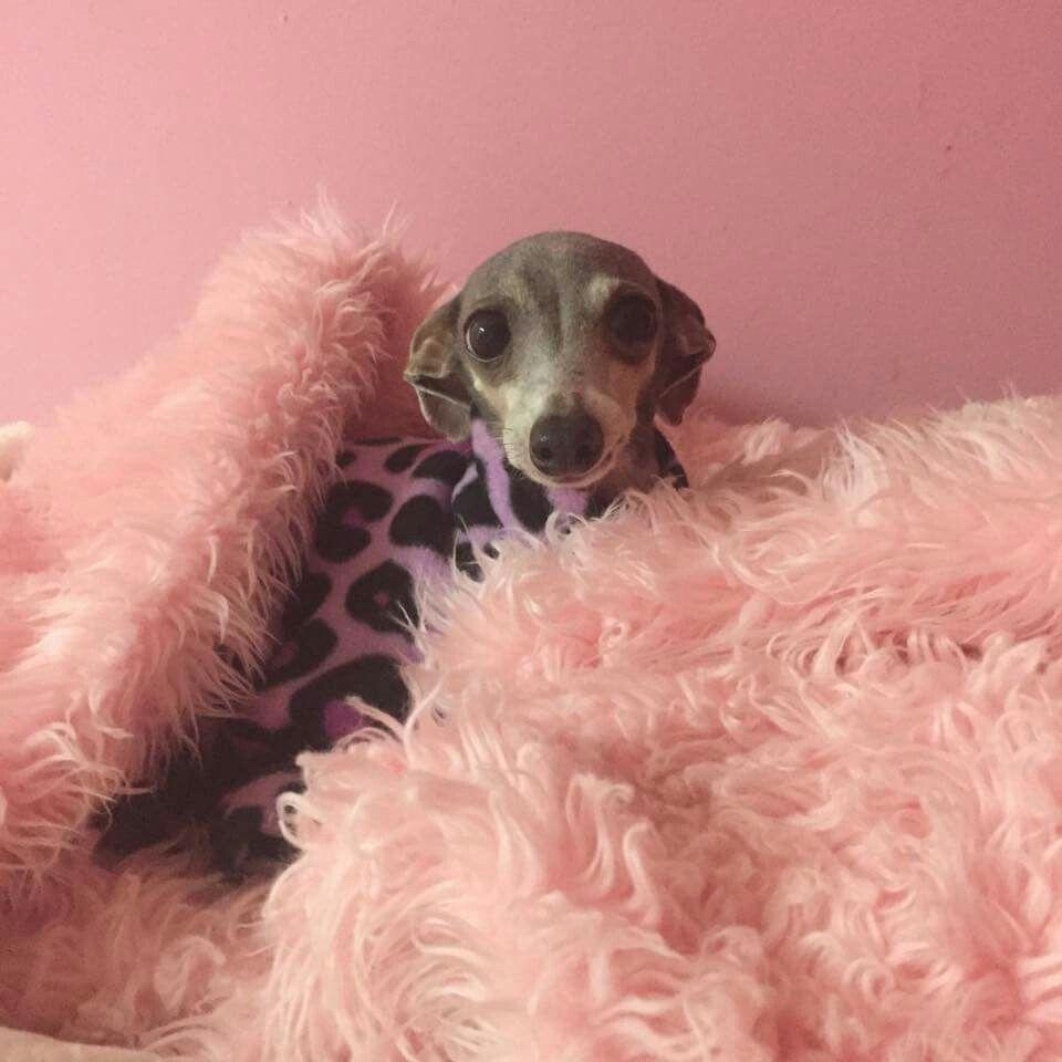 Pin by marcela p on italian greyhound pinterest italian