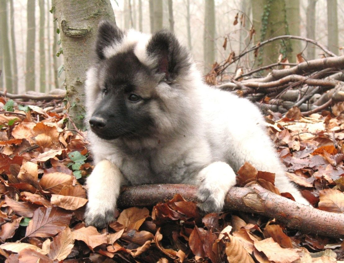 Keeshond The Dutch Barge Dogs Keeshond Puppies 3 Keeshond