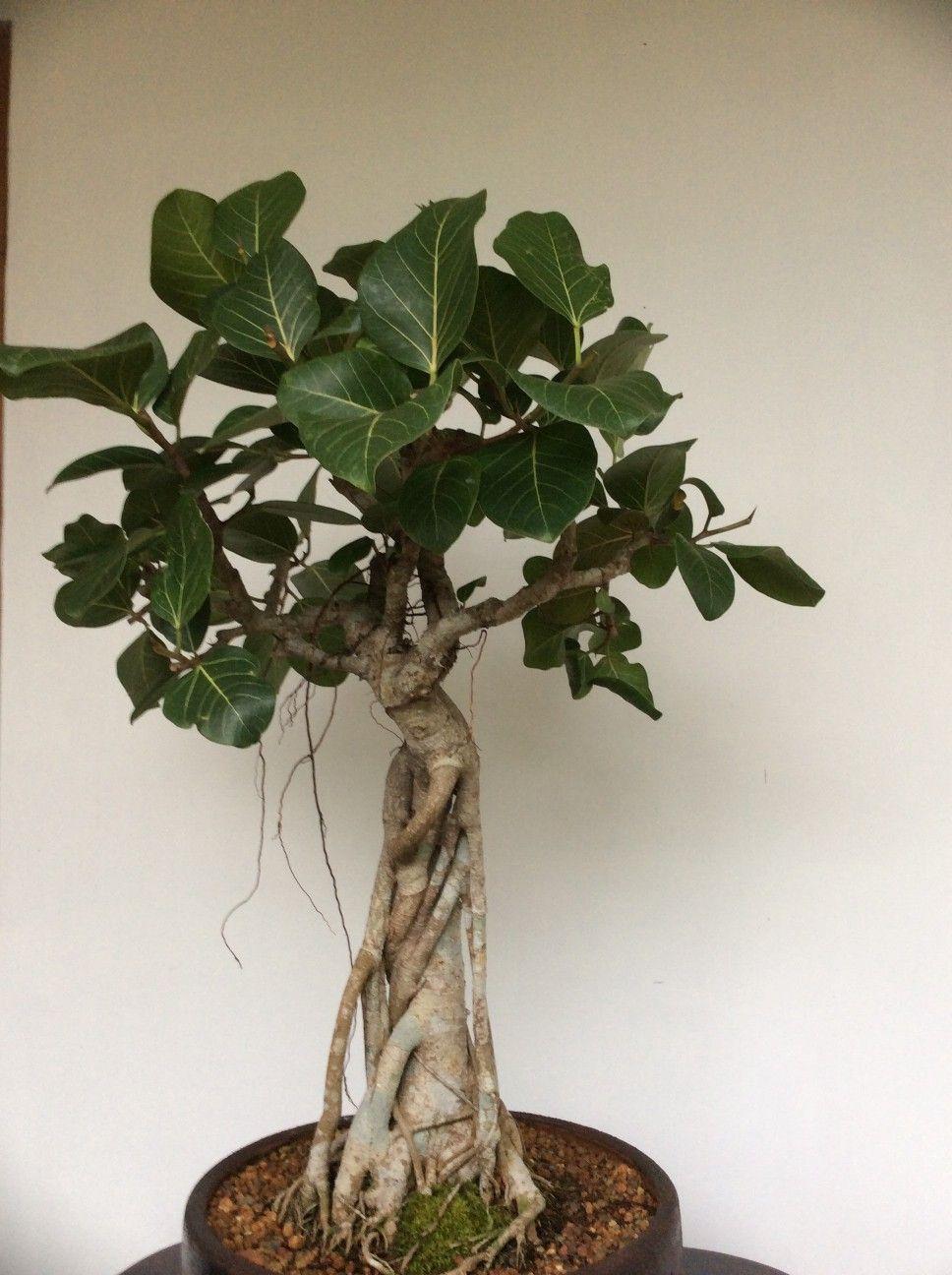 Cura Del Ficus Benjamin ficus benghalensis bonsai. (dengan gambar) | tanaman, hiasan