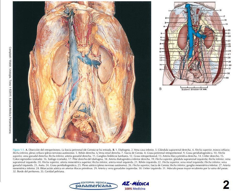 Anatomía quirúrgica del retroperitoneo, las glándulas suprarrenales ...