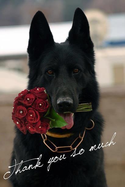 Thank You So Much German Shepherd Dog Beautiful Black German Shepherd Holding Red Flowers Schwarzer Deutscher Schaferhund Hunde Schaferhunde