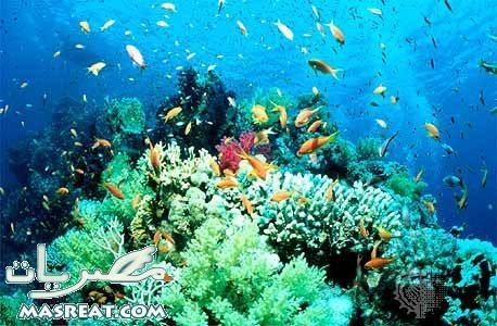 Redsea الشعاب المرجانية في محمية علبة بمحافظة البحر الاحمر Coral Reef Coral Reef Pictures Sea Coral