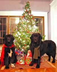 Christmas Newf!