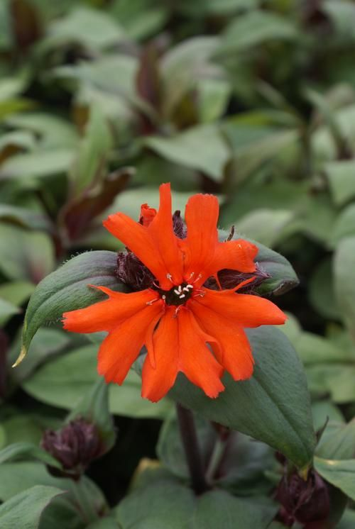 Lychnis Arkwrightii Maltese Cross Perennials Orange Color