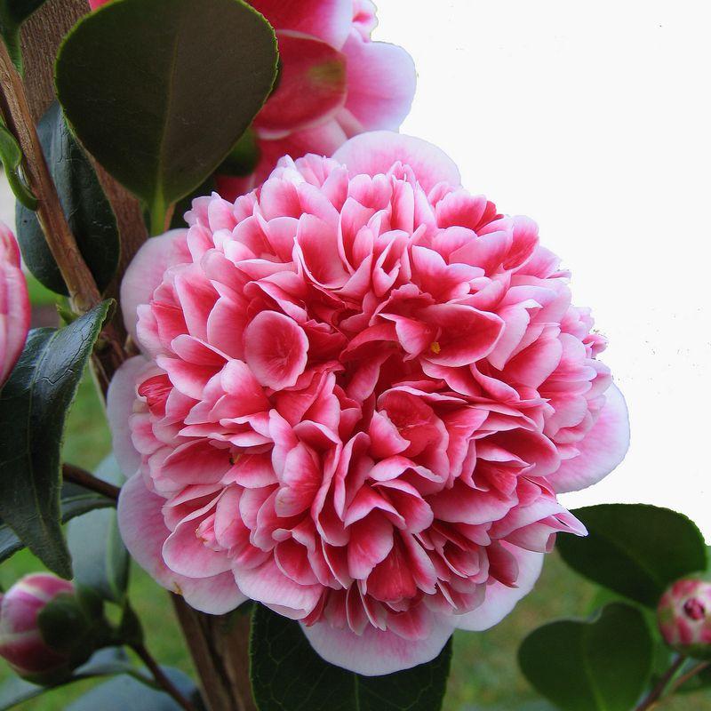Tesselaar Anthony Tesselaar Plants Flowers Beautiful Pink Flowers Plants