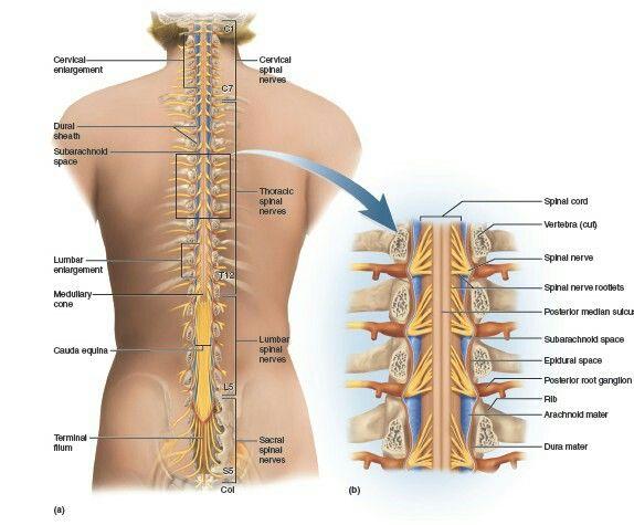 Pin de Musab Zuhairi en Anatomy | Pinterest