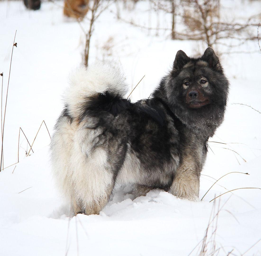 Eurasier Dog Breeds Eurasian Dog Purebred Dogs