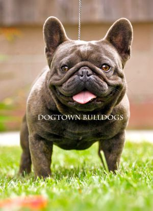 Unicum Buldy Blue Diego Abkc Champion French Bulldog Bulldog