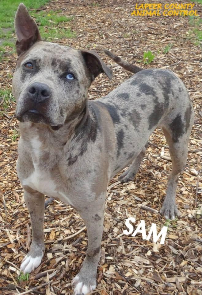 ADOPTED! Tag 10592 Name is Sam American Bulldog/Great