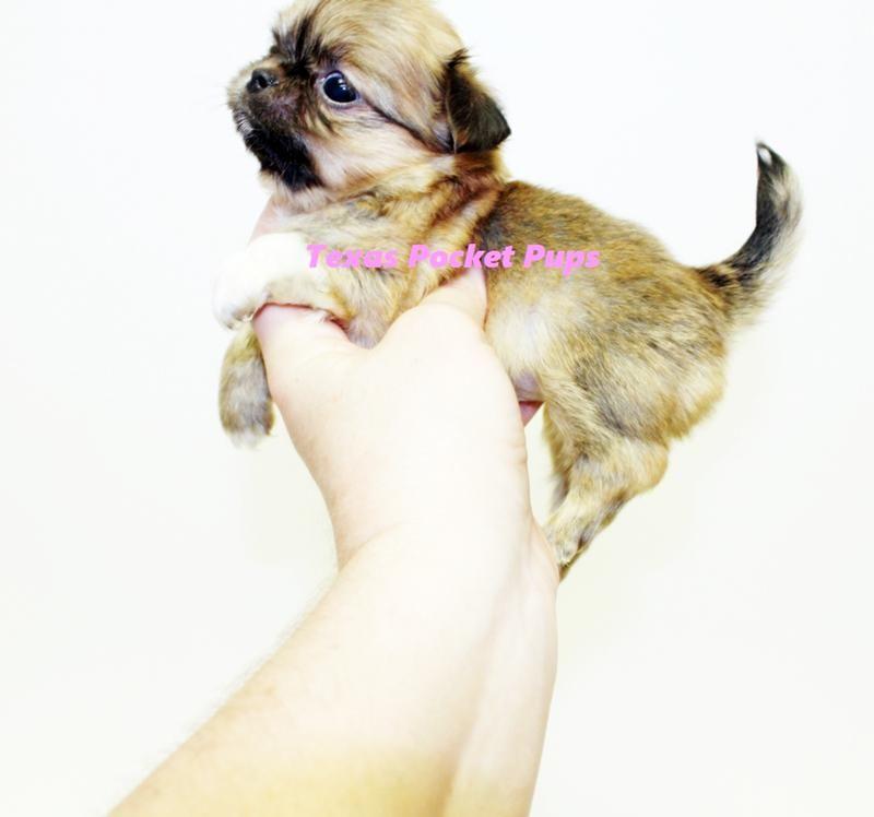 Dallas TX Teacup Chihuahua Puppies For Sale Dallas Texas ...