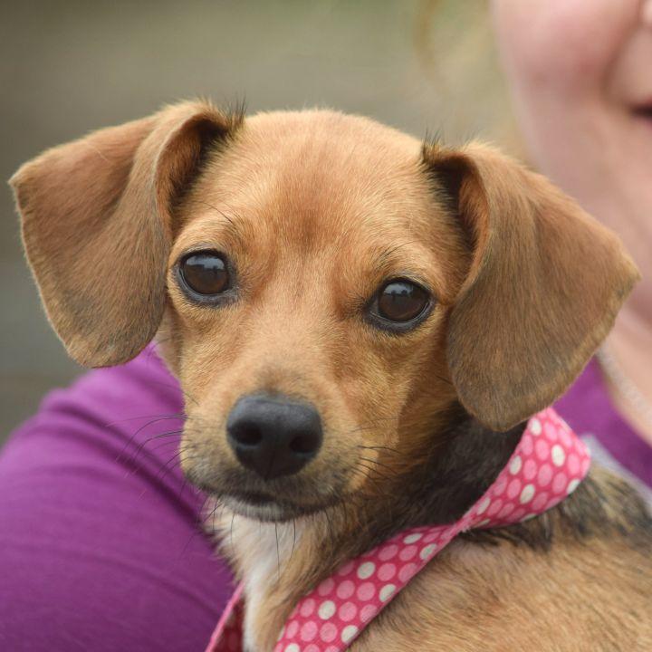 Adopt Coco On Dachshund Mix Dogs Pet Adoption