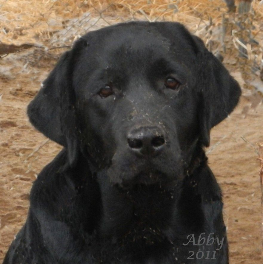 California Labrador Breeder Southern Northern Ca Labrador Breeders Labrador Retriever Lab Dogs