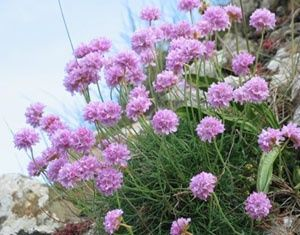 Sea pinks sea thrift pinterest natural sea pinks mightylinksfo
