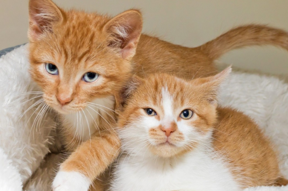 Adopt A Cat Safe Haven For Cats Orange Kitten Adoption Kitten Adoption Cat Adoption Cute Cats And Kittens