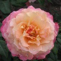 Rose Augusta Louise / Storblomstret Rose