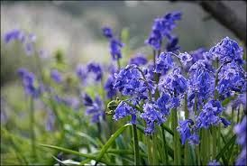 bluebells - Google Search