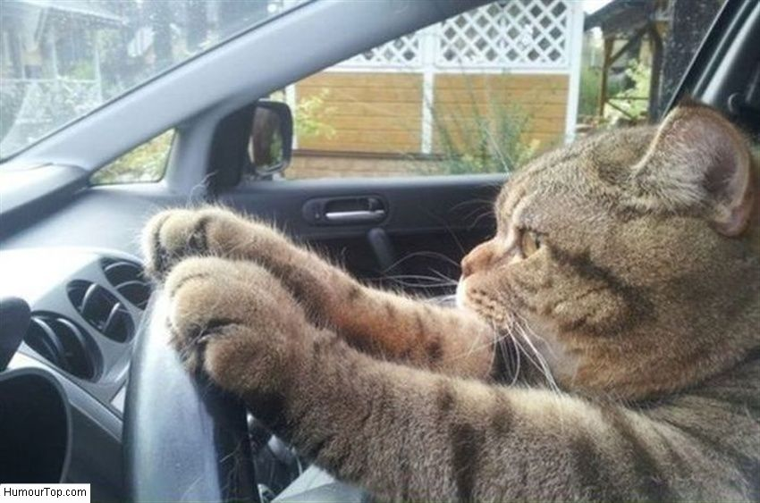 chats insolites photographie amusante d 39 un chat qui semble conduire une voiture avec. Black Bedroom Furniture Sets. Home Design Ideas