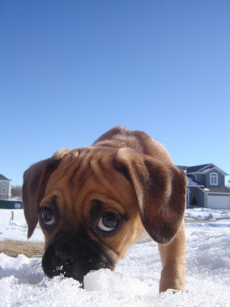Who Doesn T Like Puggles Their So Cute Cutedogday Puggle