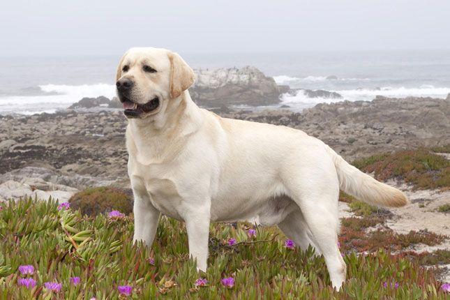 Labrador Retriever Puppies For Sale Puppy Breed Info Labrador Retriever Labrador Dog Labrador Retriever Puppies