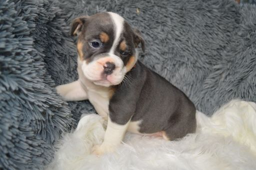 Litter Of 7 Olde English Bulldogge Puppies For Sale In Bath Pa