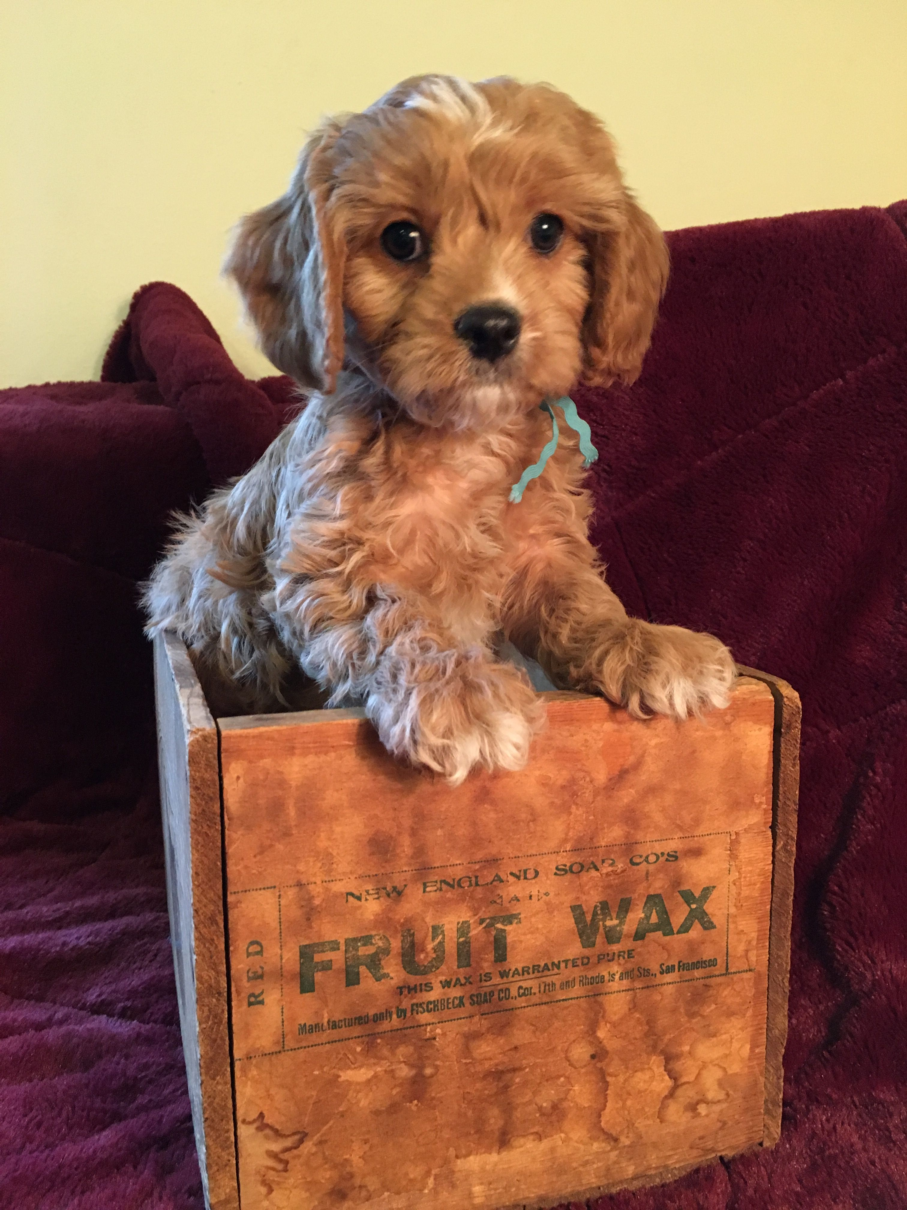 Its milk guys i promise ally lyons - Riddle Aka Dano The Cavapoo Puppy 8 Weeks Allie Dickens Pup Www