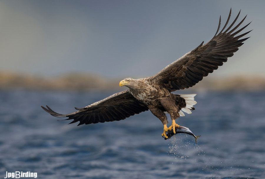 This is what the Sea Eagle shows. The elegance of his flight and the power of wings and claws.
