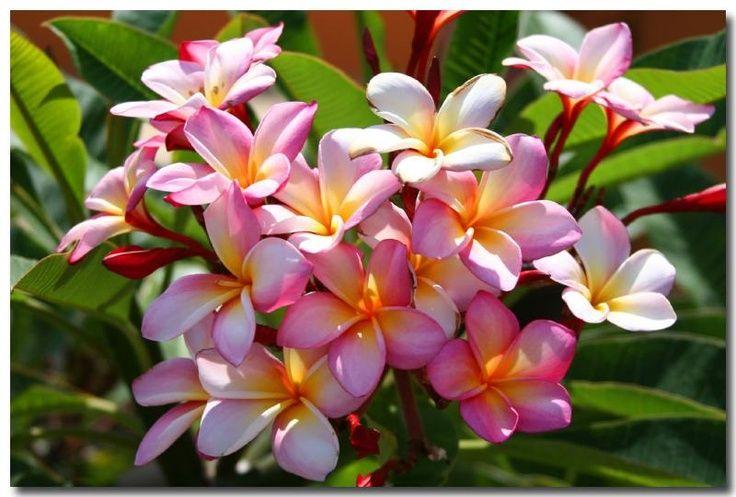 National flower of Nicaragua Sacuanjoche (Plumeria rubra
