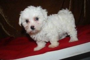 teacup maltese puppies for sale in michigan Maltese