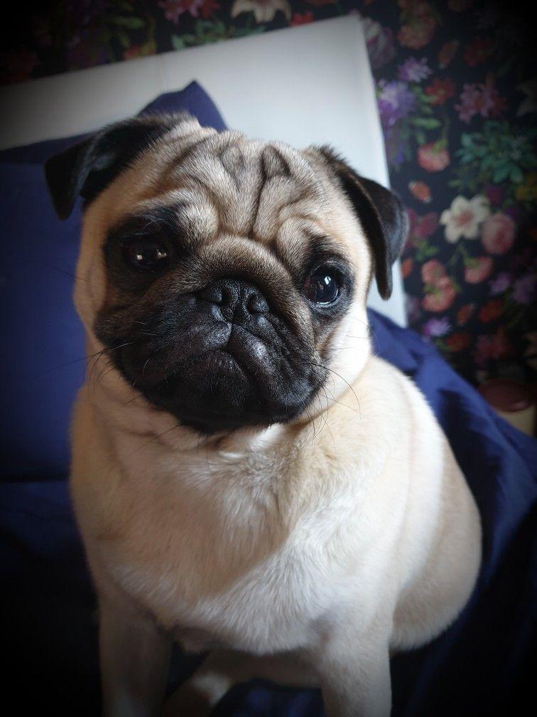 Pugmix Pug Mix Save A Dog Pugs