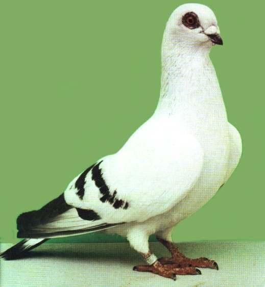 أنواع الحمام Dove Pigeon Pigeon Birds
