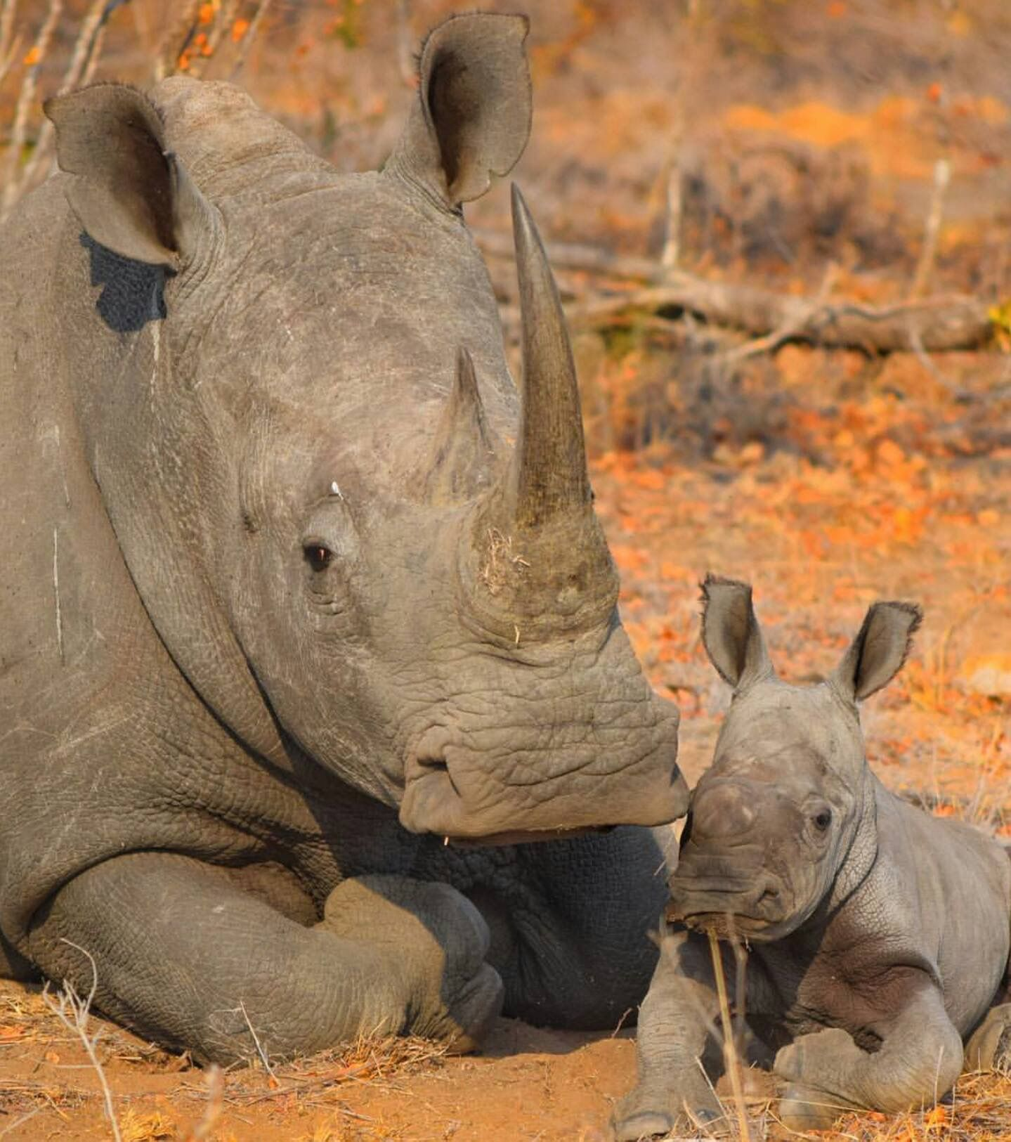 Rhino mom ... and baby 🦏🦏 ..precious (With images) | Save the ...