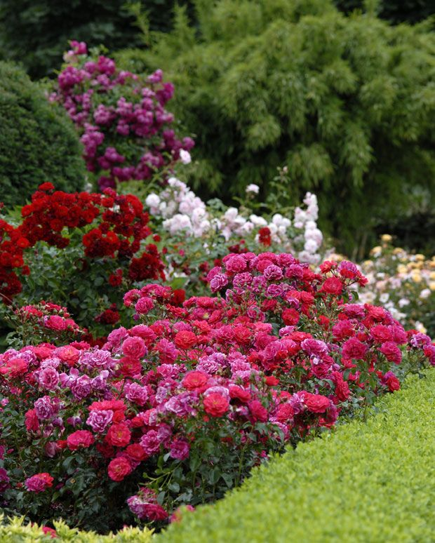 Mixed varieties of flower carpet as an easy care border for Easy care garden shrubs
