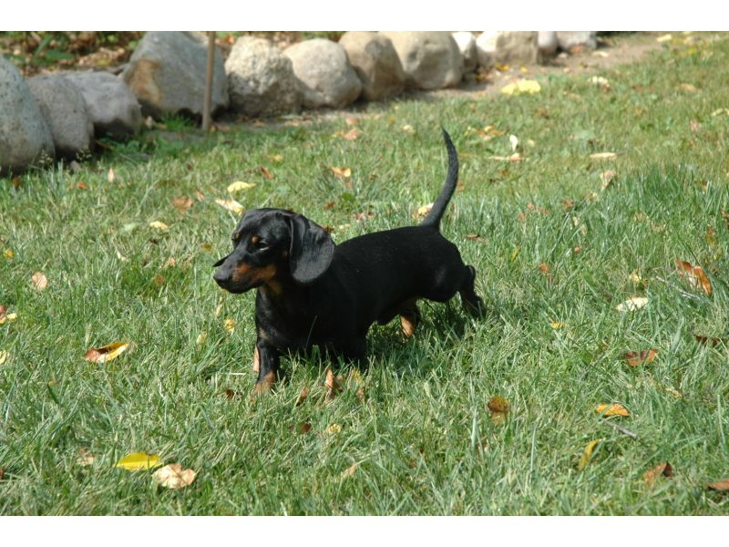 Puppies For Sale Miniature Dachshunds Doxies Dachsies