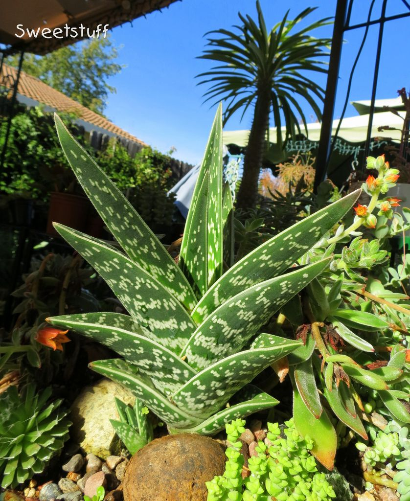 Aloe variegata Partridge Breast with Madagascar Palm in ...