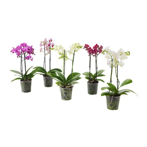 IKEA - PHALAENOPSIS, Potplant, Decoreer je huis met planten in combinatie met een sierpot die bij je stijl past.