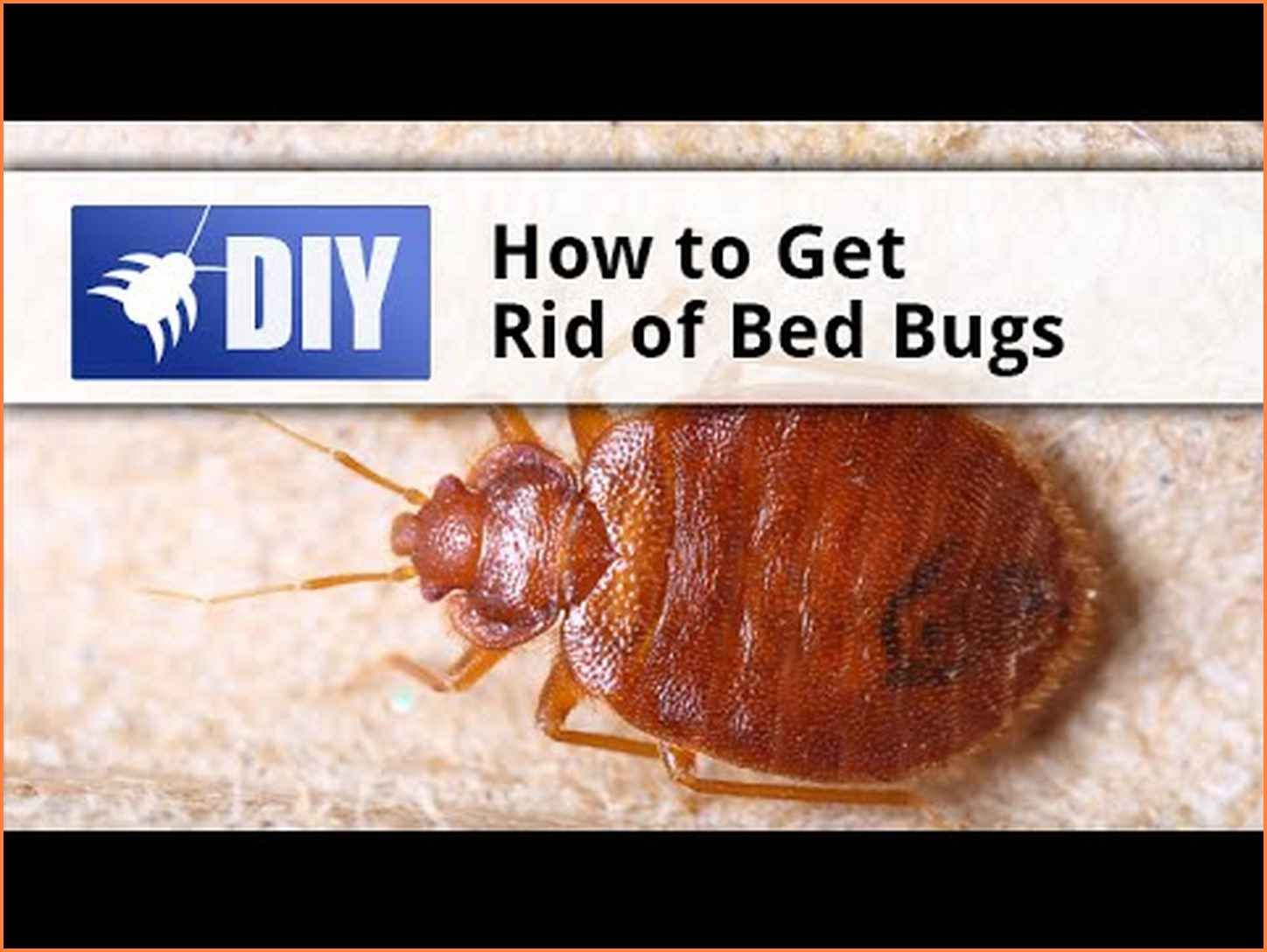 How to get rid of bed bugs in a couch rid of bed bugs
