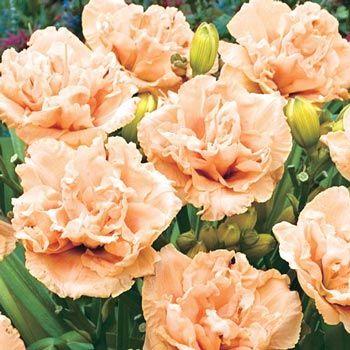 Siloam peony display daylily daylily garden peony and perennials flowers mightylinksfo