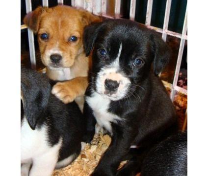 Boston Terrier Cocker Spaniel Mix Cocker Spaniel Puppies Spaniel Puppies Dogs And Puppies