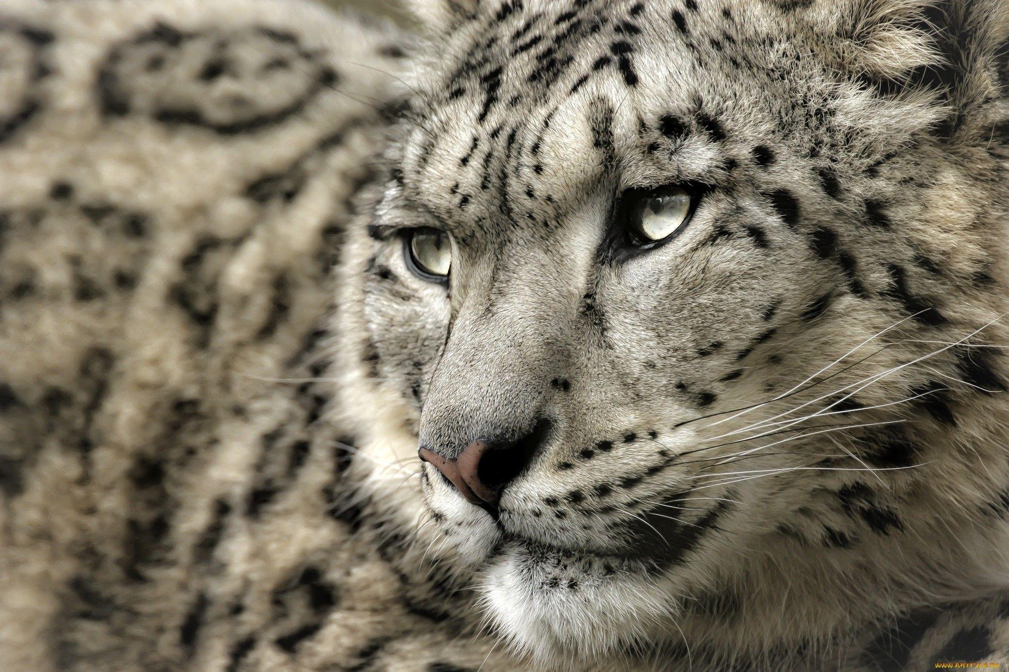 Animal Snow Leopard Wallpaper Snow leopard wallpaper