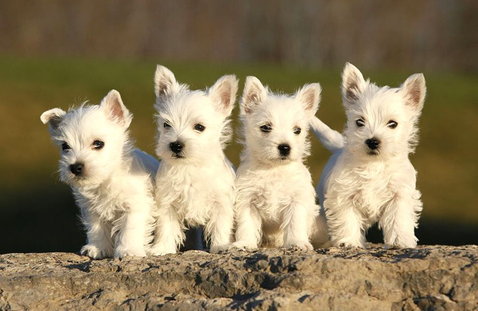 A Thomas S Peaches And Puppies Health Guaranteed Akc West Highland White Terriers Westies Miniature Schnauze Westie Puppies Puppy Pictures Terrier Puppies